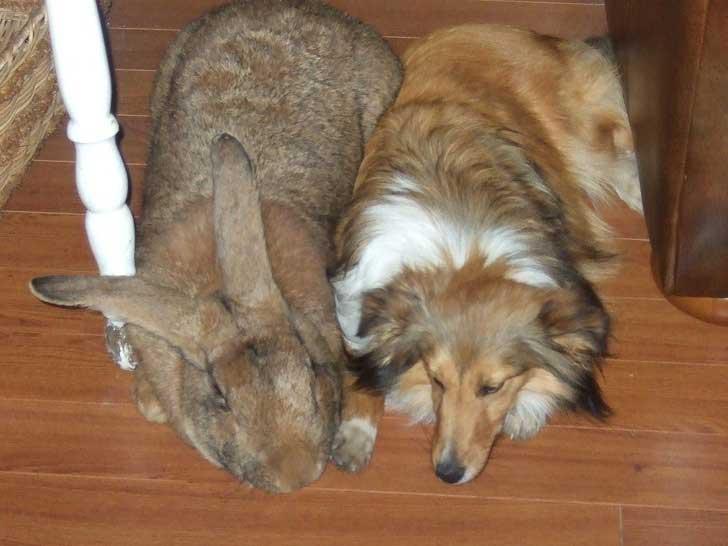 Кролик гигант размером с крупную собаку