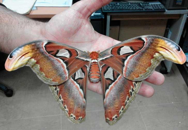 Очень большая бабочка гигант