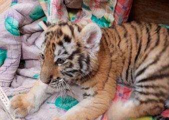 видео про животных тигренок в полиции