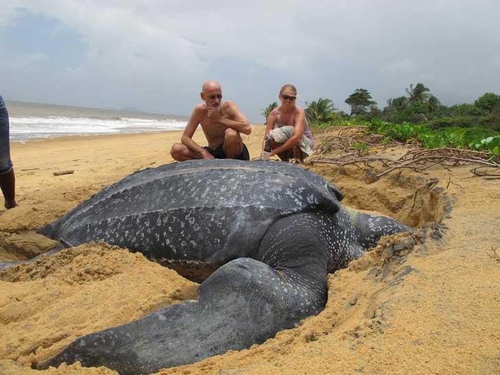 гигантская большая черепаха