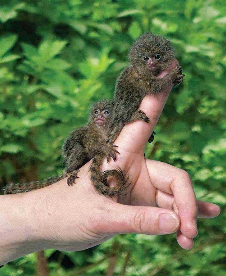 карликовые очень маленькие обезьянки