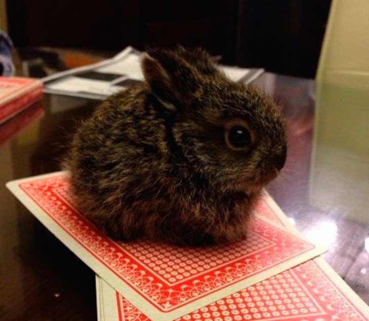 карликовый кролик размером с игральную карту