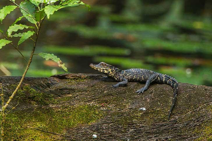 маленький карликовый крокодил