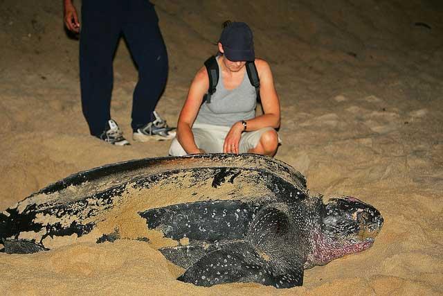 огромная гигантская морская черепаха