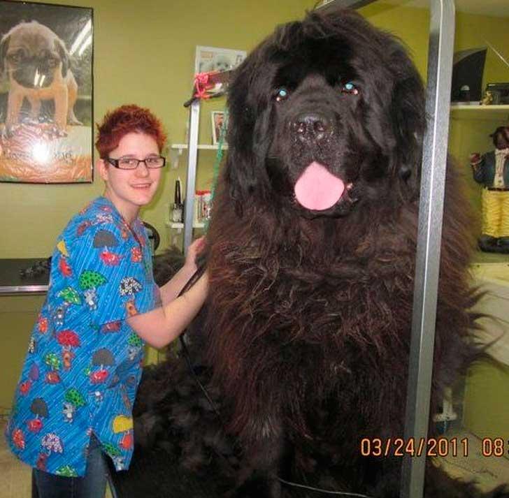 огромная гигантская собака на стрижке