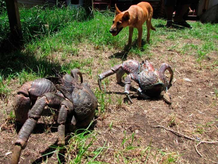 огромный кокосовый краб