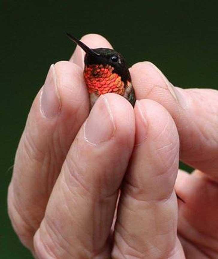 очень маленькая птичка колибри