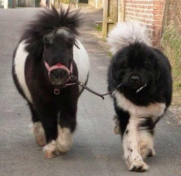 собака выгуливает пони